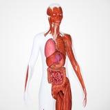 Menselijke anatomie Royalty-vrije Stock Afbeeldingen