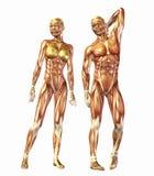 Menselijke anatomie Royalty-vrije Stock Foto's