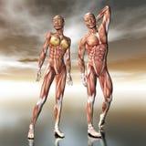 Menselijke anatomie Stock Afbeelding