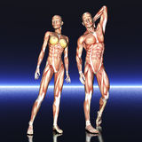 Menselijke anatomie Stock Foto