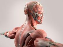 Menselijke anatomie die gezicht, hoofd, schouders en rug tonen vector illustratie