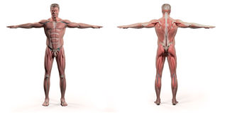 Menselijke anatomie die voor en achter volledig lichaam tonen stock illustratie
