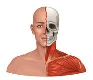 Menselijke anatomie gezichtsspieren en schedel royalty-vrije illustratie
