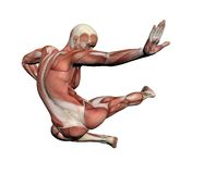 Menselijke Anatomie - Mannelijke Spieren Royalty-vrije Stock Fotografie