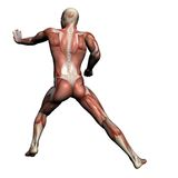 Menselijke Anatomie - Mannelijke Spieren stock illustratie
