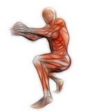 Menselijke Anatomie - Mannelijke Spieren royalty-vrije illustratie