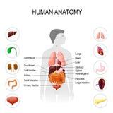 Menselijke anatomie Medische affiche vector illustratie