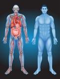 Menselijke anatomie met verschillende organen stock illustratie