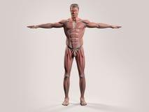 Menselijke anatomie met vooraanzicht van volledig lichaam vector illustratie
