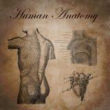 Menselijke anatomie, studie van het zenuwachtige apparaat stock afbeelding