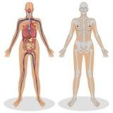 Menselijke Anatomie van vrouw Stock Afbeeldingen