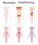 Menselijke anatomie voor jonge geitjes royalty-vrije illustratie