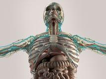Menselijke anatomieborst vanuit lage invalshoek Beenstructuur aders Op duidelijke studioachtergrond stock illustratie