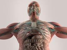 Menselijke anatomieborst vanuit lage invalshoek Beenstructuur aders spier Op duidelijke studioachtergrond royalty-vrije illustratie