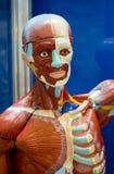 Menselijke anatomiestructuur Royalty-vrije Stock Afbeeldingen