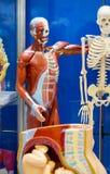 Menselijke anatomiestructuur Royalty-vrije Stock Afbeelding