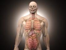 Menselijke Anatomievisualisatie - Interne Organen Royalty-vrije Stock Foto
