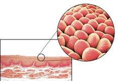 Menselijke cellen, micrograaf en 3D illustratie vector illustratie