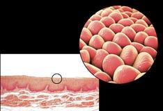 Menselijke cellen, micrograaf en 3D illustratie royalty-vrije stock afbeelding
