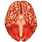 Menselijke de meningsvector van de hersenenonderkant Royalty-vrije Stock Foto