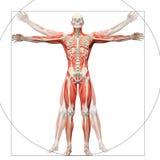 Menselijke die anatomie als vitruvian man wordt getoond vector illustratie