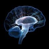 Menselijke die hersenen met onderling verbonden kleine zenuwen worden geïllustreerd stock illustratie