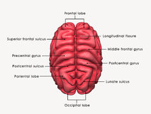 Menselijke geëtiketteerde Hersenen royalty-vrije illustratie
