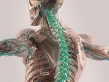 Menselijke geïllustreerde anatomie Stock Foto's