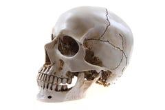 Menselijke geïsoleerdeh schedel Stock Afbeelding