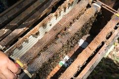 Menselijke gehouden bijenkorfclose-up met mensenhanden Het verzamelen van honing van bijennest royalty-vrije stock afbeelding