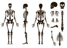 Menselijke geplaatste de structuurelementen van het beenderenskelet Schedelinzameling Vector illustratie Stock Afbeeldingen