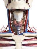 Menselijke halsanatomie Royalty-vrije Stock Afbeelding