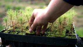 Menselijke hand die pijnboomzaailingen samen met grond en wortels van plastic pot nemen stock footage