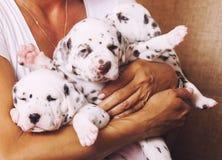 Menselijke hand die vele puppy Dalmatische dichte omhooggaand houden Royalty-vrije Stock Fotografie