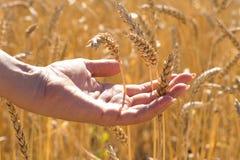 Menselijke hand onder gouden rijpe tarweaartjes op gebied, nieuw gewas stock fotografie