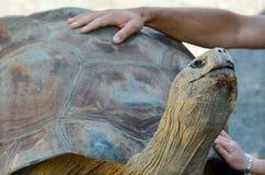 Menselijke handen die de schildpad van de Galapagos petting Stock Foto's