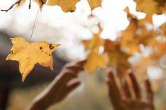 Menselijke handen die voor een blad in de herfst bereiken Stock Fotografie