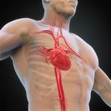 Menselijke hartanatomie Stock Foto