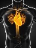 Menselijke hartanatomie Stock Afbeelding