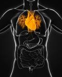 Menselijke hartanatomie Royalty-vrije Stock Foto