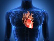 Menselijke hartanatomie van een gezond lichaam Royalty-vrije Stock Foto's