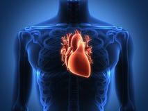 Menselijke hartanatomie van een gezond lichaam Stock Foto