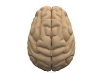 Menselijke hersenen Royalty-vrije Stock Foto
