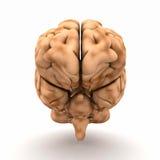 Menselijke hersenen Stock Afbeeldingen