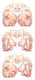 Menselijke Hersenen Royalty-vrije Stock Afbeelding