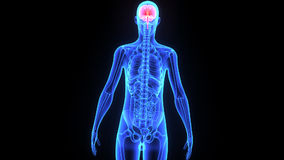 Menselijke hersenen royalty-vrije illustratie