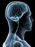 Menselijke hersenen stock illustratie