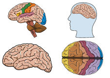 Menselijke hersenen binnen   Stock Afbeelding