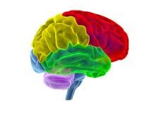 Menselijke hersenen - 3D Illustratie Royalty-vrije Stock Afbeelding