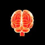 Menselijke Hersenen latere mening stock illustratie